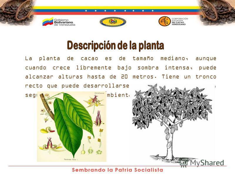La planta de cacao es de tamaño mediano, aunque cuando crece libremente bajo sombra intensa, puede alcanzar alturas hasta de 20 metros. Tiene un tronco recto que puede desarrollarse de formas muy variadas, según las condiciones ambientales.