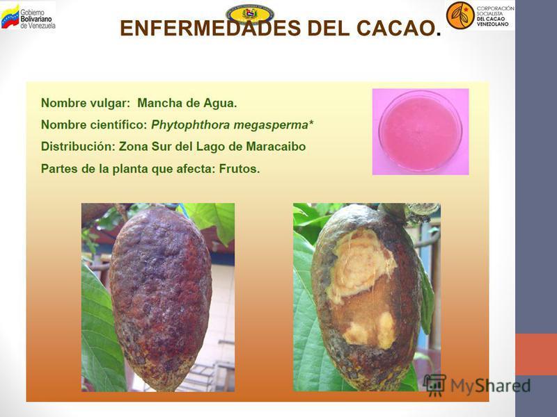 ENFERMEDADES DEL CACAO.