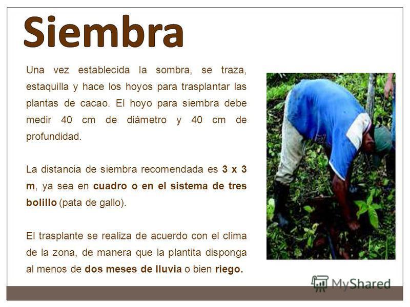 Una vez establecida la sombra, se traza, estaquilla y hace los hoyos para trasplantar las plantas de cacao. El hoyo para siembra debe medir 40 cm de diámetro y 40 cm de profundidad. La distancia de siembra recomendada es 3 x 3 m, ya sea en cuadro o e