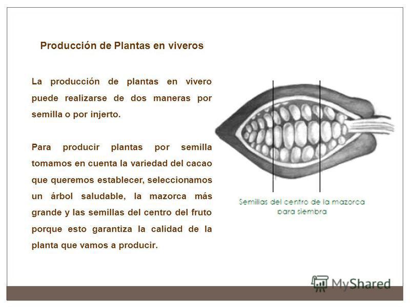 Producción de Plantas en viveros La producción de plantas en vivero puede realizarse de dos maneras por semilla o por injerto. Para producir plantas por semilla tomamos en cuenta la variedad del cacao que queremos establecer, seleccionamos un árbol s