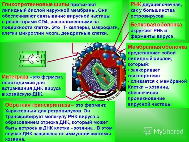 РНК двухцепочечная, как у большинства ретровирусов Белковая оболочка окружает РНК и ферменты вируса Мембранная оболочка представляет собой липидный бислой, который: заякоривает гликопротеин сливается с мембраной Клетки – хозяина, обеспечивая проникно