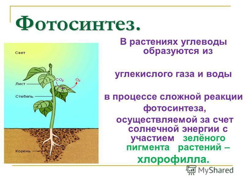 Фотосинтез. В растениях углеводы образуются из углекислого газа и воды в процессе сложной реакции фотосинтеза, осуществляемой за счет солнечной энергии с участием зелёного пигмента растений – хлорофилла.