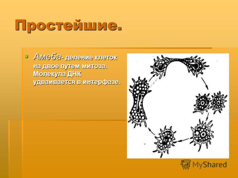 Простейшие. Амеба - деление клеток на двое путем митоза. Молекула ДНК удваивается в интерфазе. Амеба - деление клеток на двое путем митоза. Молекула ДНК удваивается в интерфазе.