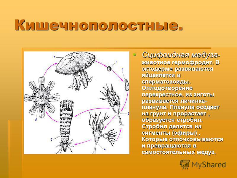 Кишечнополостные. Сцифоидная медуза - животное гермафродит. В эктодерме развиваются яйцеклетки и сперматозоиды. Оплодотворение перекрестное, из зиготы развивается личинка- планула. Планула оседает на грунт и прорастает, образуется стробил. Стробил де