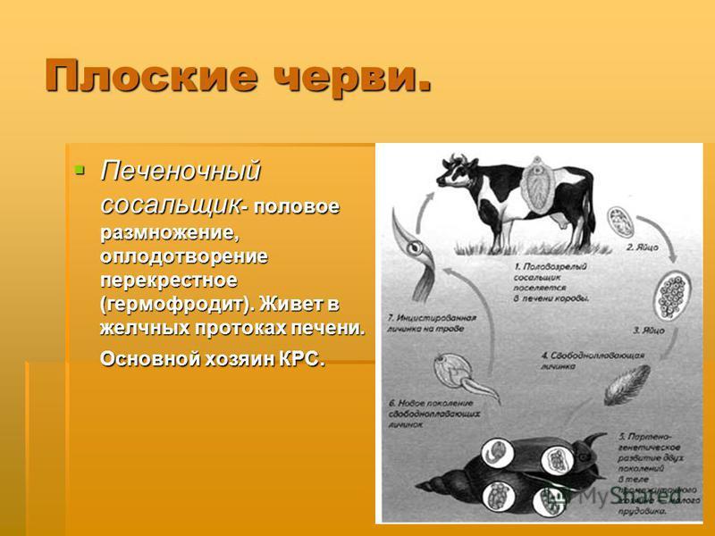 Плоские черви. Печеночный сосальщик - половое размножение, оплодотворение перекрестное (гермафродит). Живет в желчных протоках печени. Основной хозяин КРС. Печеночный сосальщик - половое размножение, оплодотворение перекрестное (гермафродит). Живет в