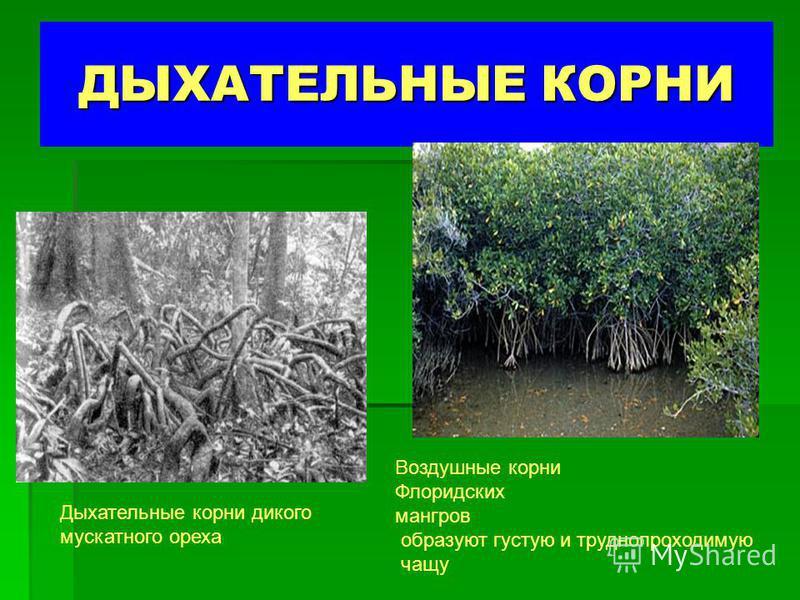 ДЫХАТЕЛЬНЫЕ КОРНИ Дыхательные корни дикого мускатного ореха Воздушные корни Флоридских мангров образуют густую и труднопроходимую чащу