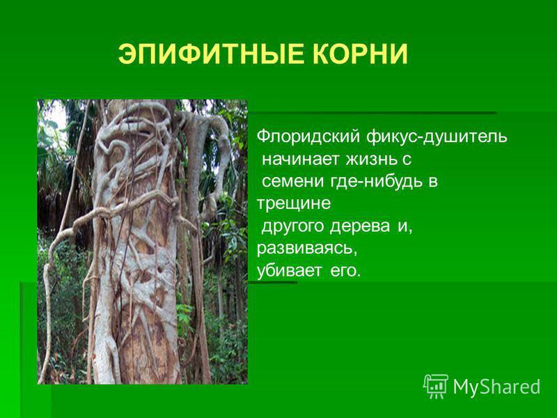 ЭПИФИТНЫЕ КОРНИ Флоридский фикус-душитель начинает жизнь с семени где-нибудь в трещине другого дерева и, развиваясь, убивает его.