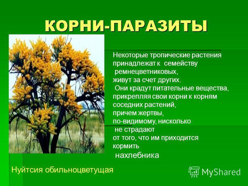 КОРНИ-ПАРАЗИТЫ Некоторые тропические растения принадлежат к семейству ремнецветниковых, живут за счет других. Они крадут питательные вещества, прикрепляя свои корни к корням соседних растений, причем жертвы, по-видимому, нисколько не страдают от того