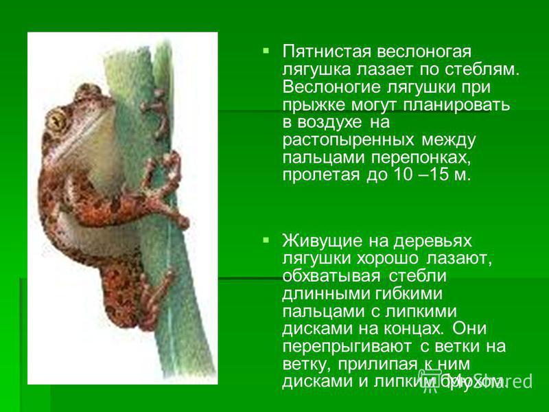 Пятнистая веслоногая лягушка лазает по стеблям. Веслоногие лягушки при прыжке могут планировать в воздухе на растопыренных между пальцами перепонках, пролетая до 10 –15 м. Живущие на деревьях лягушки хорошо лазают, обхватывая стебли длинными гибкими