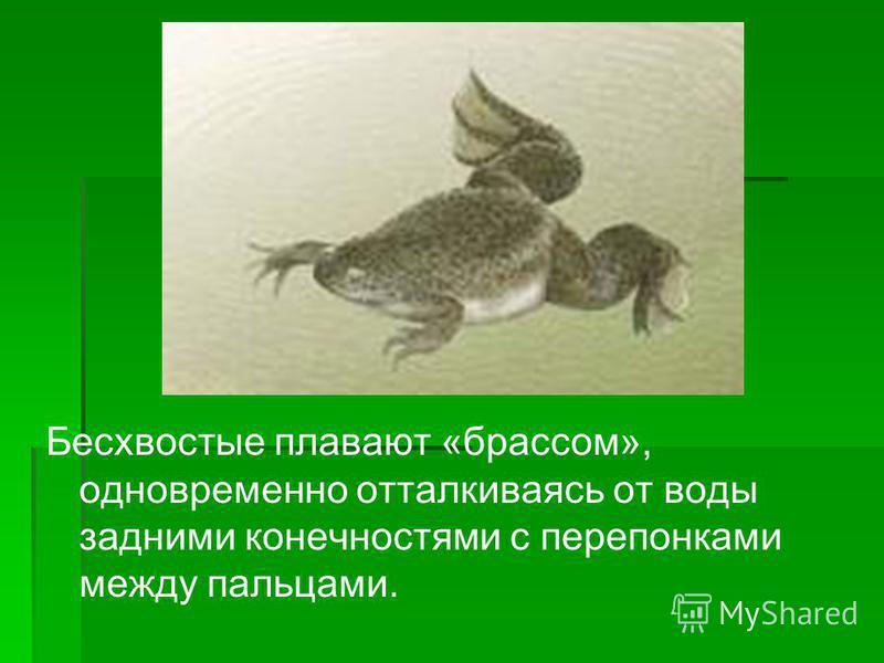 Бесхвостые плавают «брассом», одновременно отталкиваясь от воды задними конечностями с перепонками между пальцами.