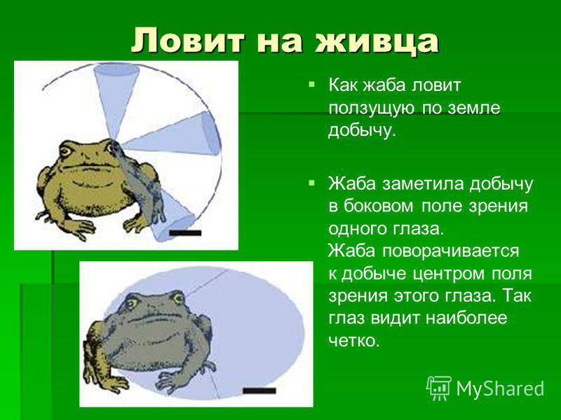 Ловит на живца Как жаба ловит ползущую по земле добычу. Жаба заметила добычу в боковом поле зрения одного глаза. Жаба поворачивается к добыче центром поля зрения этого глаза. Так глаз видит наиболее четко.