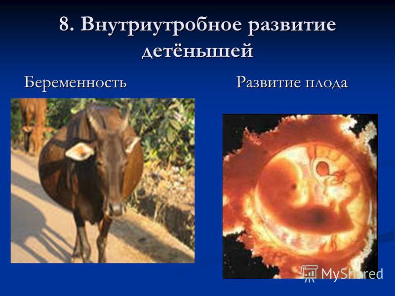 8. Внутриутробное развитие детёнышей Беременность Развитие плода