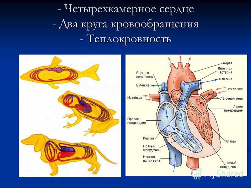 - Четырехкамерное сердце - Два круга кровообращения - Теплокровность