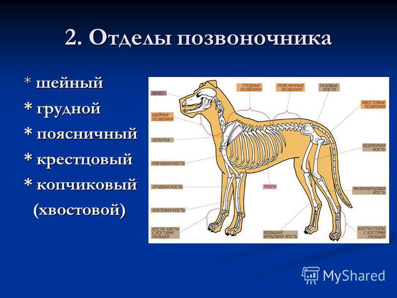 2. Отделы позвоночника * шейный * грудной * поясничный * крестцовый * копчиковый (хвостовой) (хвостовой)