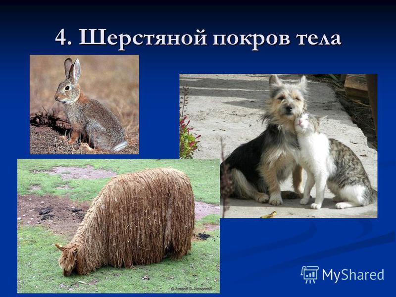 4. Шерстяной покров тела