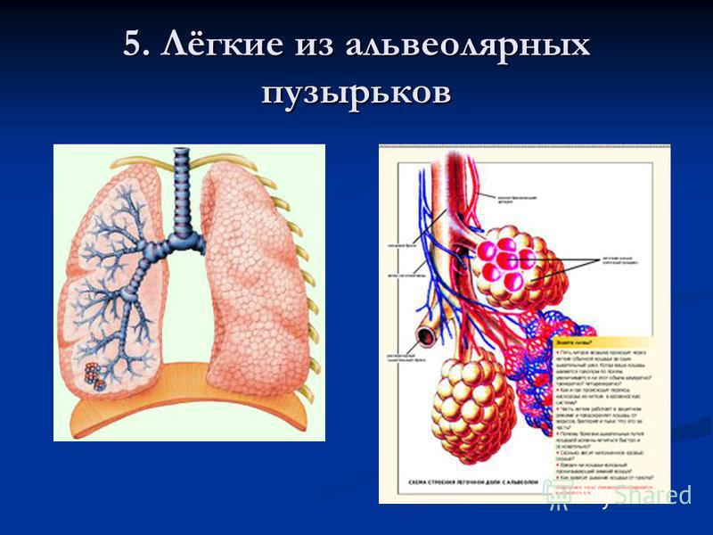 5. Лёгкие из альвеолярных пузырьков