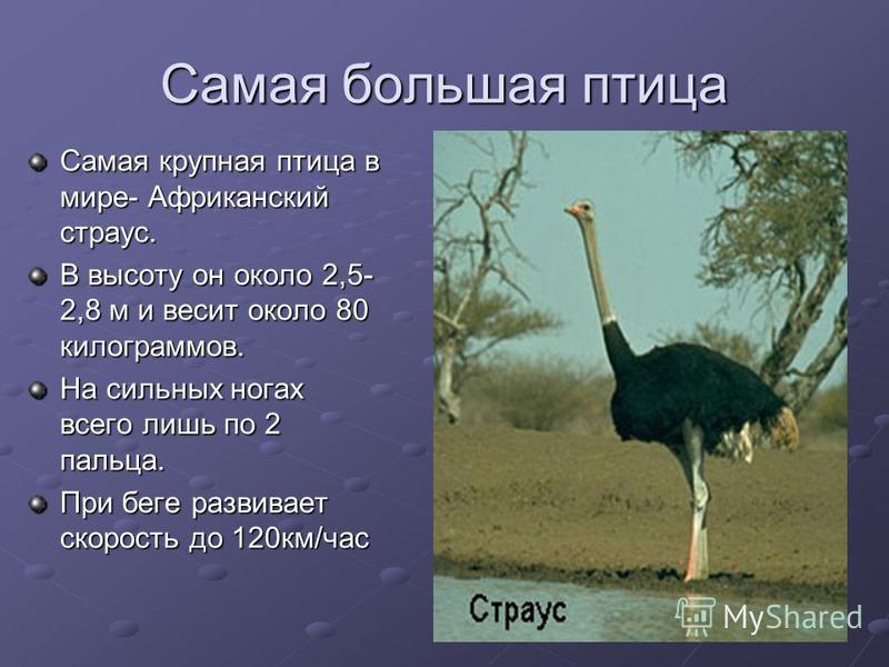 Самая большая птица Самая крупная птица в мире- Африканский страус. В высоту он около 2,5- 2,8 м и весит около 80 килограммов. На сильных ногах всего лишь по 2 пальца. При беге развивает скорость до 120 км/час
