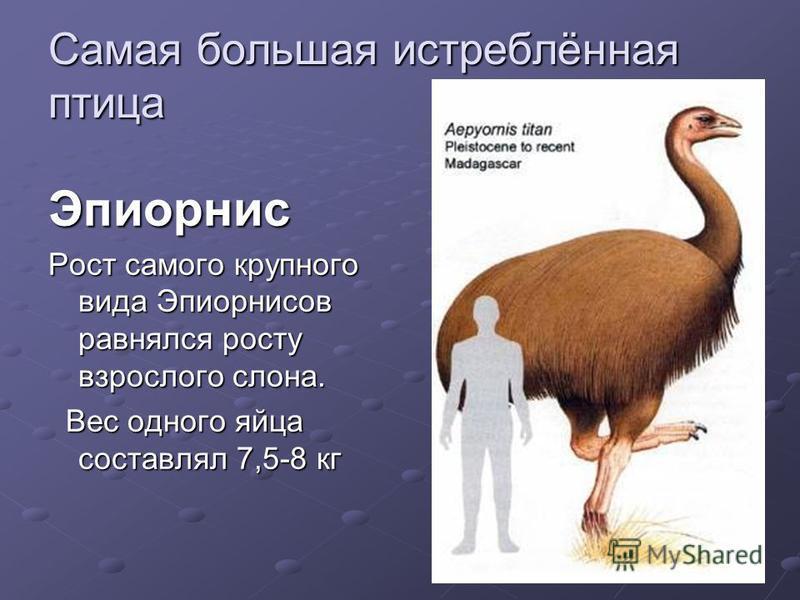 Самая большая истреблённая птица Эпиорнис Рост самого крупного вида Эпиорнисов равнялся росту взрослого слона. Вес одного яйца составлял 7,5-8 кг Вес одного яйца составлял 7,5-8 кг