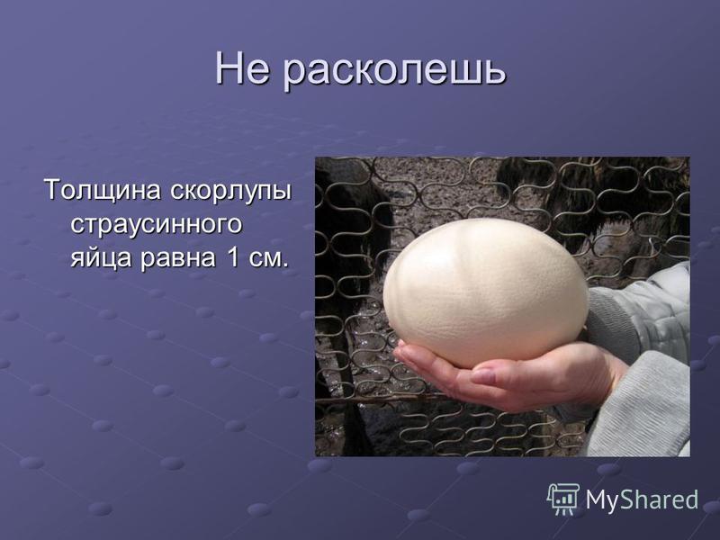 Не расколешь Толщина скорлупы страусиного яйца равна 1 см.