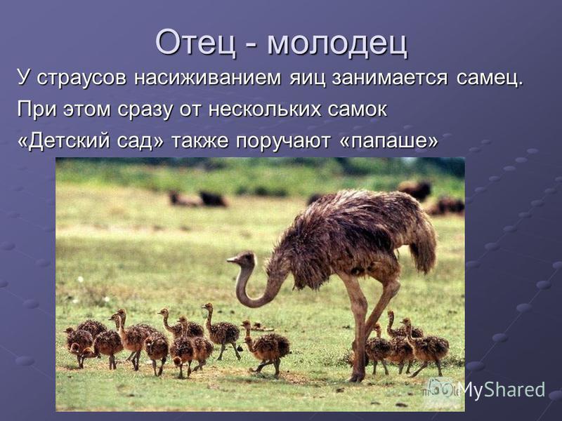 Отец - молодец У страусов насиживанием яиц занимается самец. При этом сразу от нескольких самок «Детский сад» также поручают «папаше»