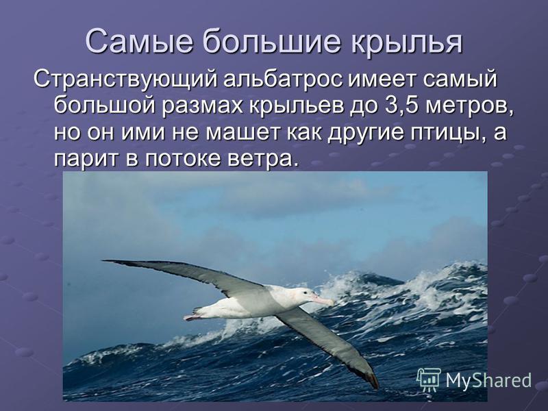 Самые большие крылья Странствующий альбатрос имеет самый большой размах крыльев до 3,5 метров, но он ими не машет как другие птицы, а парит в потоке ветра.