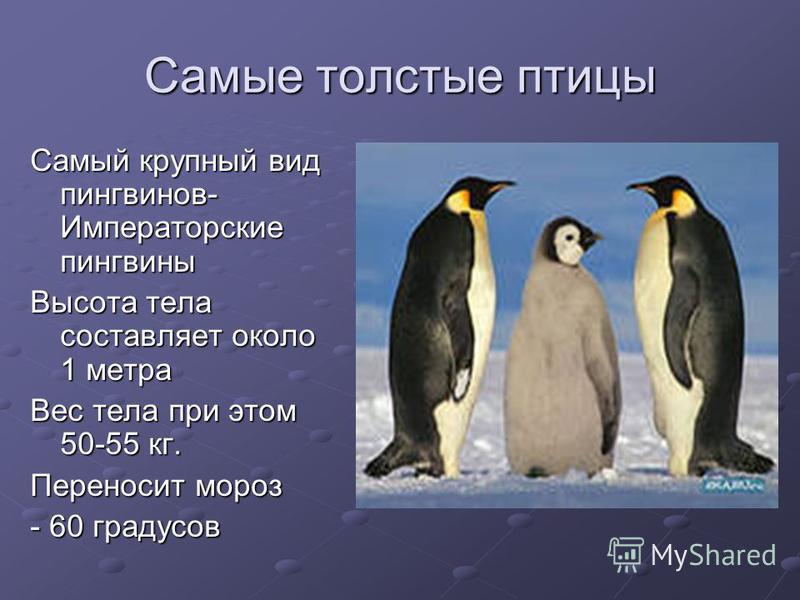 Самые толстые птицы Самый крупный вид пингвинов- Императорские пингвины Высота тела составляет около 1 метра Вес тела при этом 50-55 кг. Переносит мороз - 60 градусов