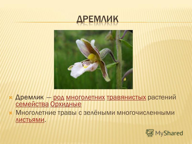 Дремлик род многолетних травянистых растений семейства Орхидныеродмноголетнихтравянистых семейства Орхидные Многолетние травы с зелёными многочисленными листьями. листьями