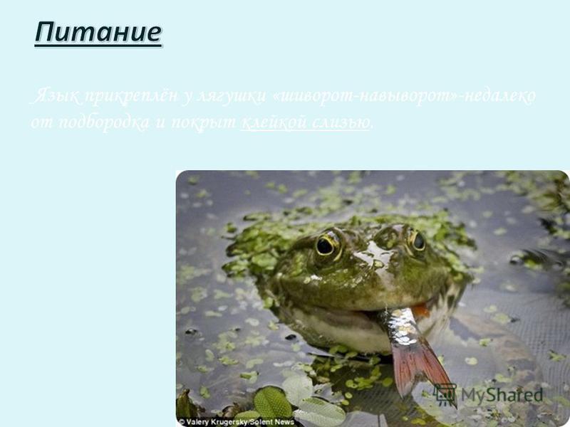 Язык прикреплён у лягушки «шиворот-навыворот»-недалеко от подбородка и покрыт клейкой слизью.