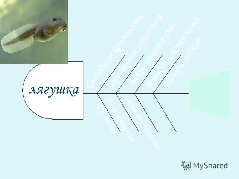 Свободные конечности Плавательная перепонка лягушка Барабанная перепонка Веки- защита глаз Влажная, голая кожа Кожное дыхание Ноздри, легкие