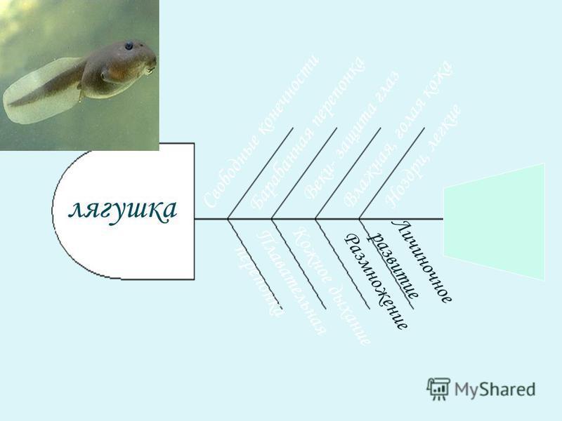 Свободные конечности Плавательная перепонка лягушка Барабанная перепонка Веки- защита глаз Влажная, голая кожа Кожное дыхание Ноздри, легкие Размножение Личиночное развитие