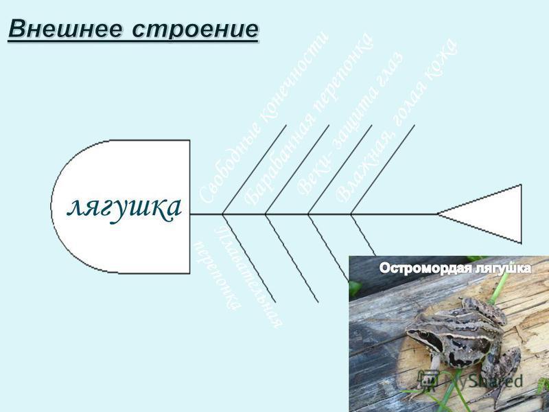Свободные конечности Плавательная перепонка лягушка Барабанная перепонка Веки- защита глаз Влажная, голая кожа