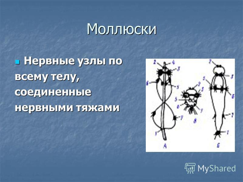 Моллюски Нервные узлы по Нервные узлы по всему телу, соединенные нервными тяжами