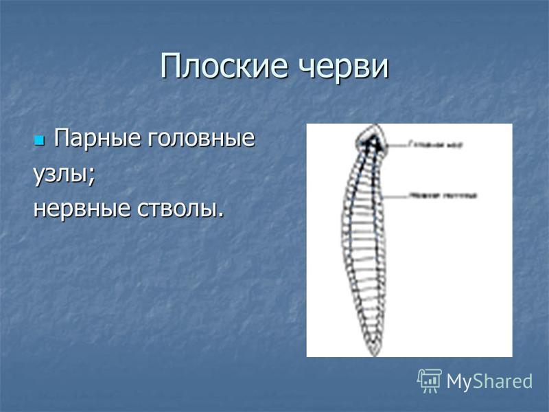 Плоские черви Парные головные Парные головные узлы; нервные стволы.