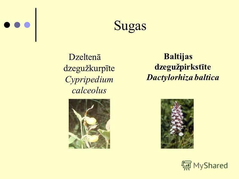 Sugas Dzeltenā dzegužkurpīte Cypripedium calceolus Baltijas dzegužpirkstīte Dactylorhiza baltica