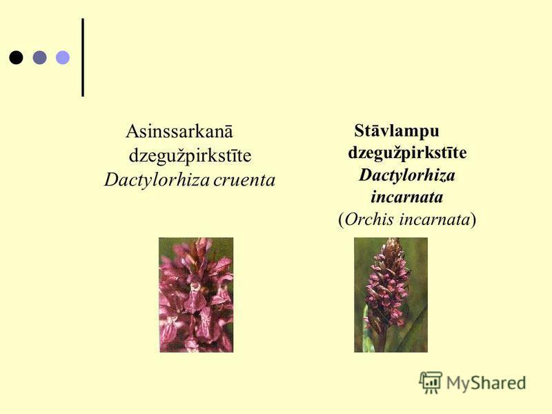 Asinssarkanā dzegužpirkstīte Dactylorhiza cruenta Stāvlampu dzegužpirkstīte Dactylorhiza incarnata (Orchis incarnata)