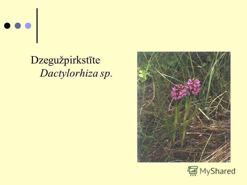 Dzegužpirkstīte Dactylorhiza sp.