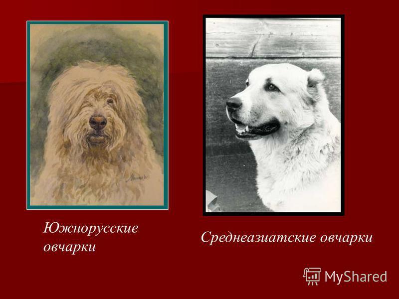 Южнорусские овчарки Среднеазиатские овчарки