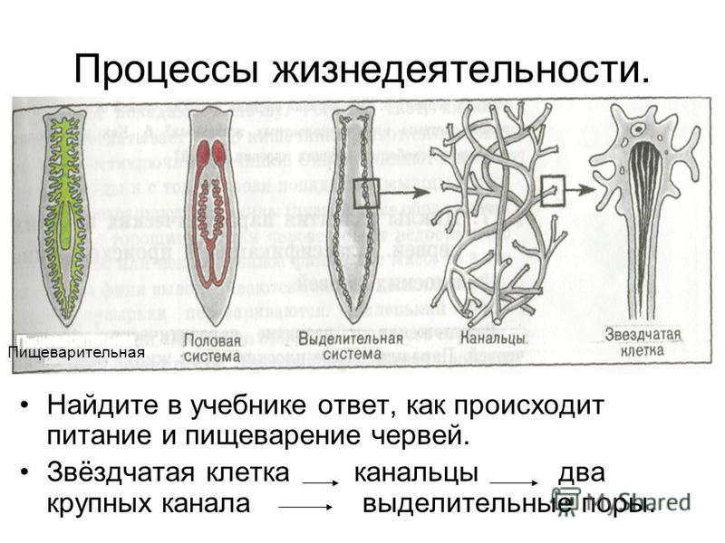 Процессы жизнедеятельности. Найдите в учебнике ответ, как происходит питание и пищеварение червей. Звёздчатая клетка канальцы два крупных канала выделительные поры. Пищеварительная