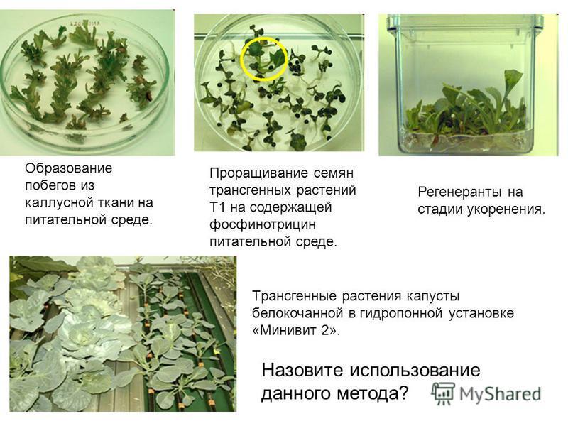 Образование побегов из каллусной ткани на питательной среде. Проращивание семян трансгенных растений Т1 на содержащей фосфинотрицин питательной среде. Регенеранты на стадии укоренения. Tрансгенные растения капусты белокочанной в гидропонной установке
