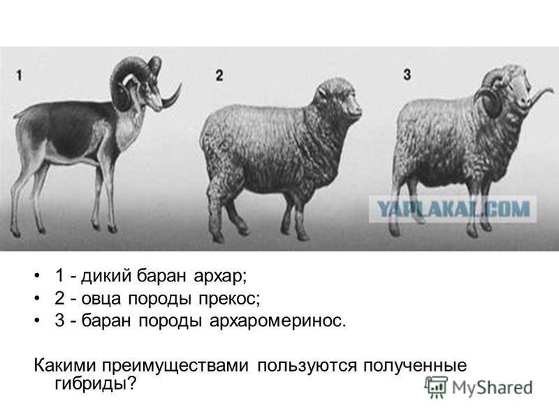 1 - дикий баран архар; 2 - овца породы прекос; 3 - баран породы архаромеринос. Какими преимуществами пользуются полученные гибриды?