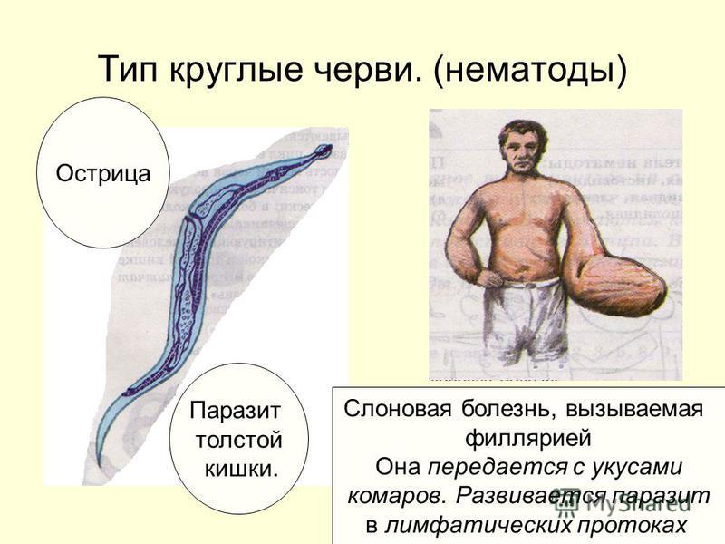 Тип круглые черви. (нематоды) Острица Паразит толстой кишки. Слоновая болезнь, вызываемая филярией Она передается с укусами комаров. Развивается паразит в лимфатических протоках