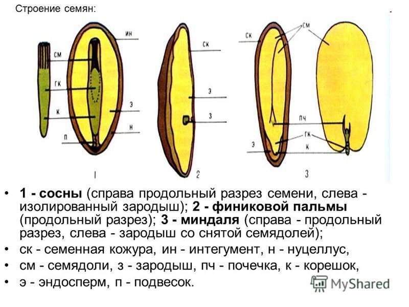 1 - сосны (справа продольный разрез семени, слева - изолированный зародыш); 2 - финиковой пальмы (продольный разрез); 3 - миндаля (справа - продольный разрез, слева - зародыш со снятой семядолей); ск - семенная кожура, ин - интегумент, н - нуцеллус,