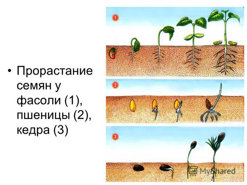 Прорастание семян у фасоли (1), пшеницы (2), кедра (3)