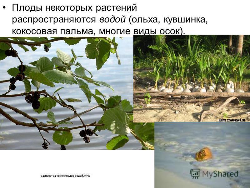Плоды некоторых растений распространяются водой (ольха, кувшинка, кокосовая пальма, многие виды осок).