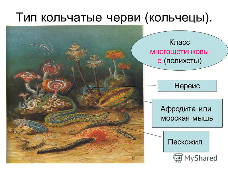 Тип кольчатые черви (кольчецы). Класс многощетинковые (полихеты) Нереис Афродита или морская мышь Пескожил