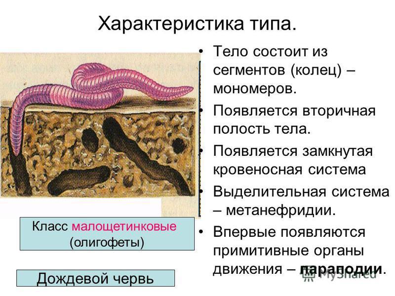 Дождевой червь Класс