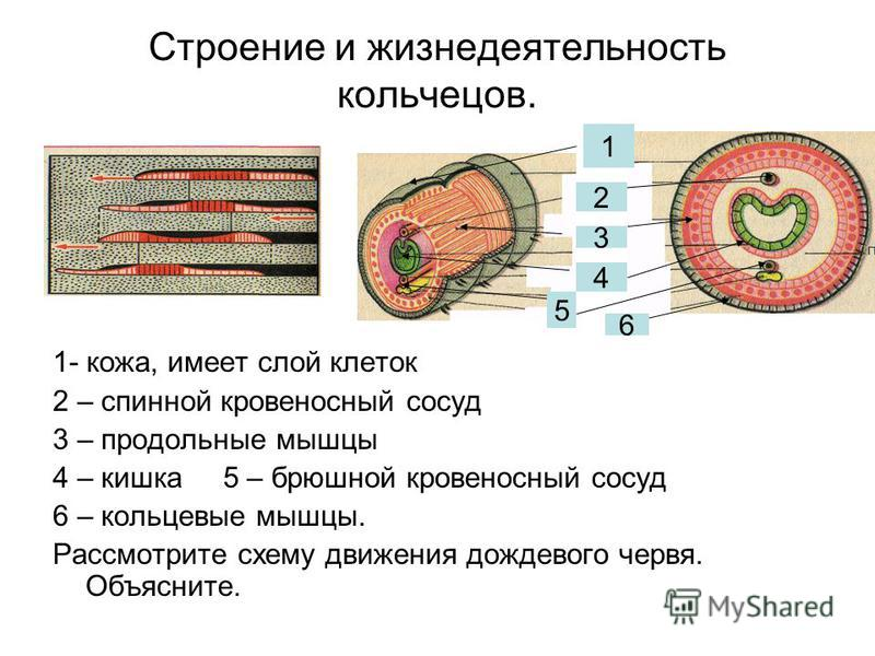 Строение и жизнедеятельность кольчецов. 1- кожа, имеет слой клеток 2 – спинной кровеносный сосуд 3 – продольные мышцы 4 – кишка 5 – брюшной кровеносный сосуд 6 – кольцевые мышцы. Рассмотрите схему движения дождевого червя. Объясните. 1 2 3 4 5 6