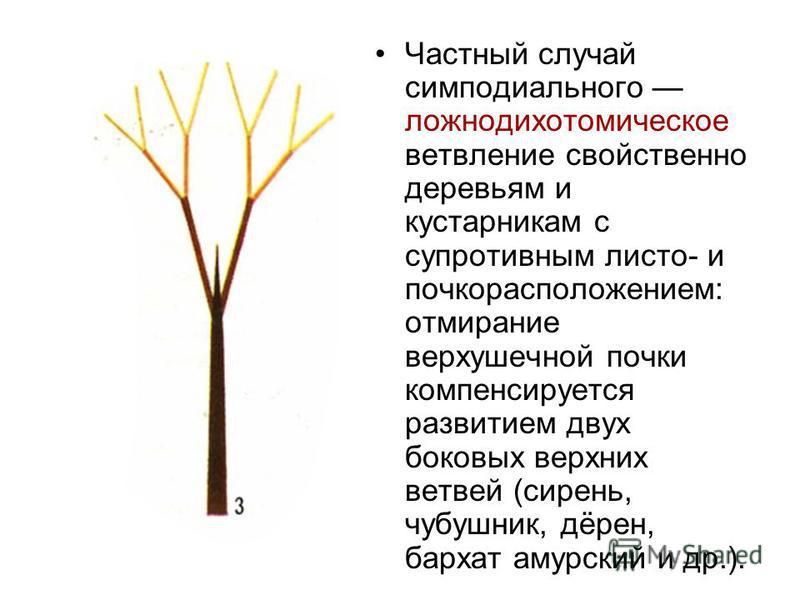 Частный случай симподиального ложнодихотомическое ветвление свойственно деревьям и кустарникам с супротивным листа- и почкорасположением: отмирание верхушечной почки компенсируется развитием двух боковых верхних ветвей (сирень, чубушник, дёрен, барха