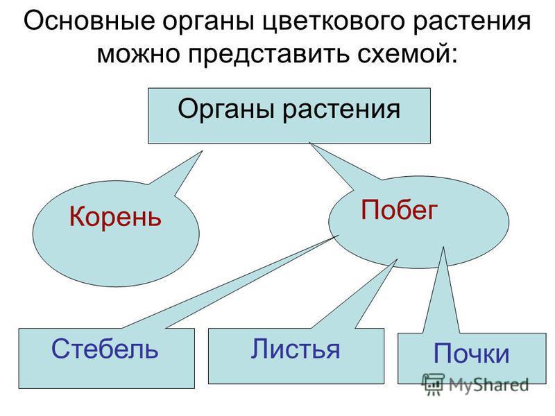 Основные органы цветкового растения можно представить схемой: Органы растения Корень Побег Стебель Листья Почки
