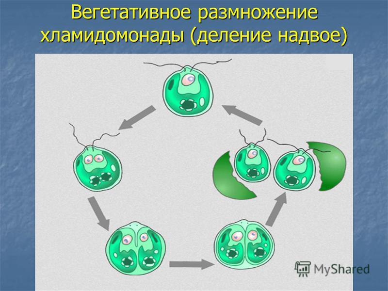Вегетативное размножение хламидомонады (деление надвое)